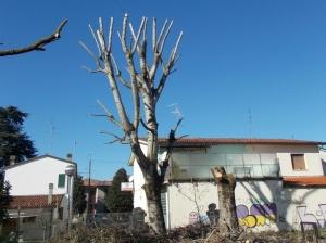 alberifusignano4